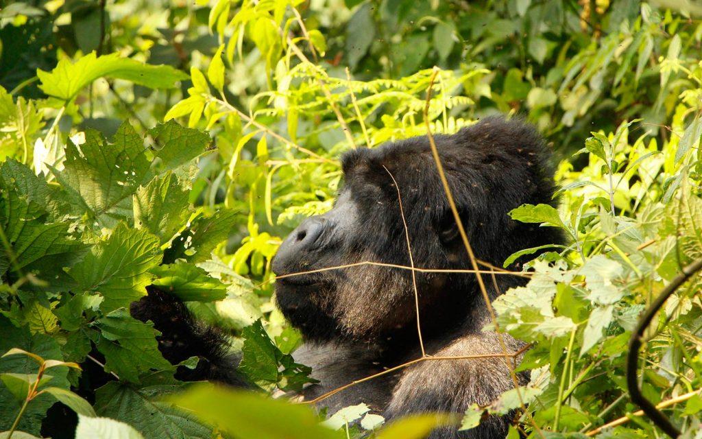 mountain gorillas - Uganda Gorilla