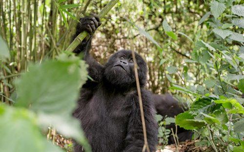 bwindi gorillas - Uganda Gorilla Habituation