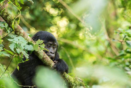 Outback Adventure Safaris - gorilla trek