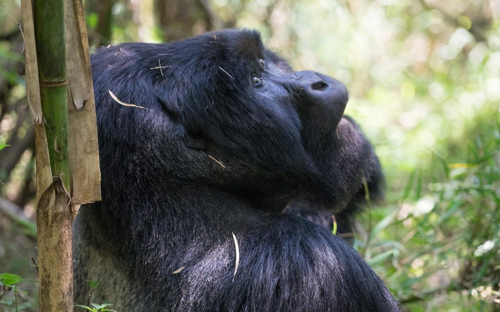 Uganda Primate - Mgahinga National Park