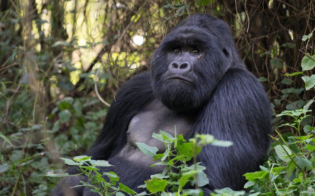 gorilla tracking Uganda - Bwindi Impenetrable National Park