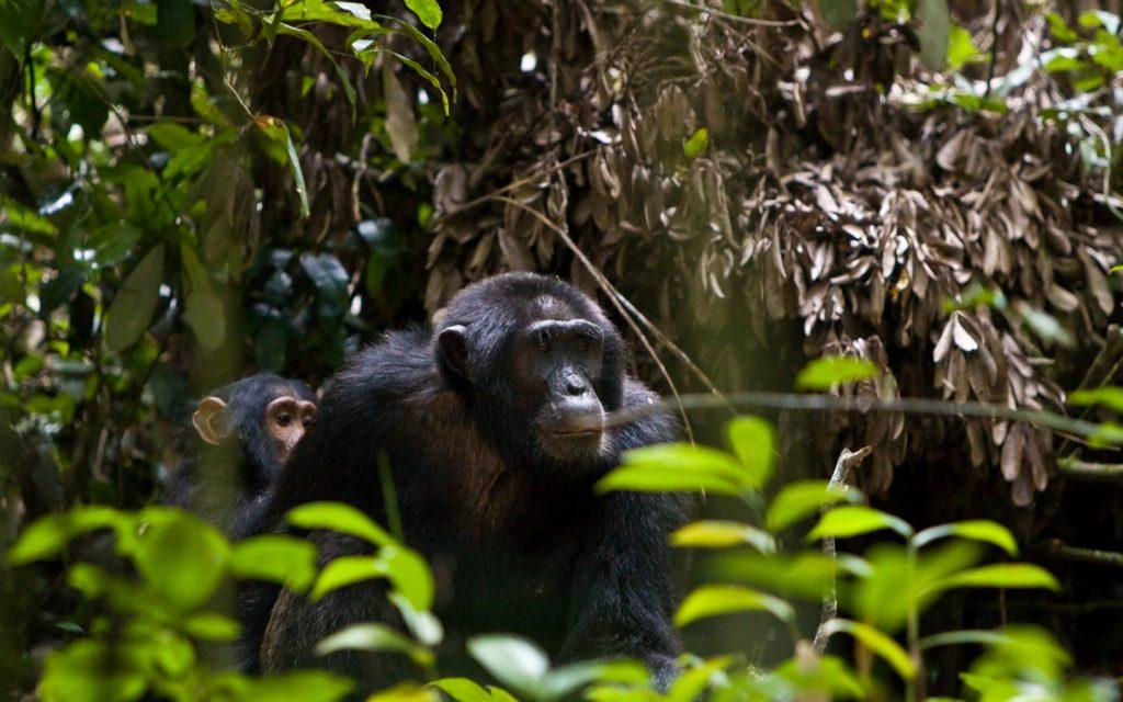 chimps in Kibale - Uganda Primate