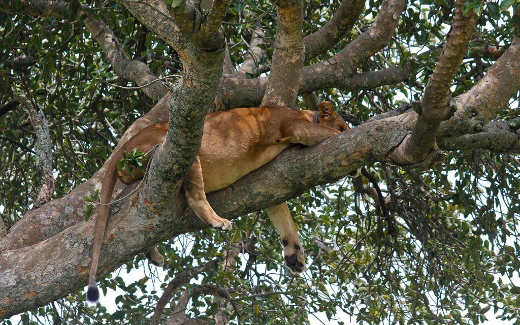 tree climbing lions - Uganda Safari