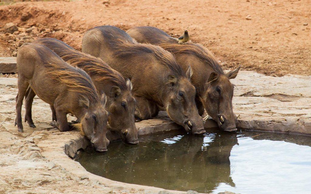 Thirsty Warthogs