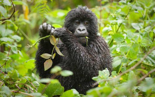 Budget Rwanda Gorilla Tracking Tour